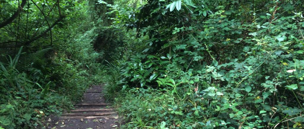 Ein Weg mit Trttstufen aus Holz in einem Wald, der stark an einen Urwald erinnert.